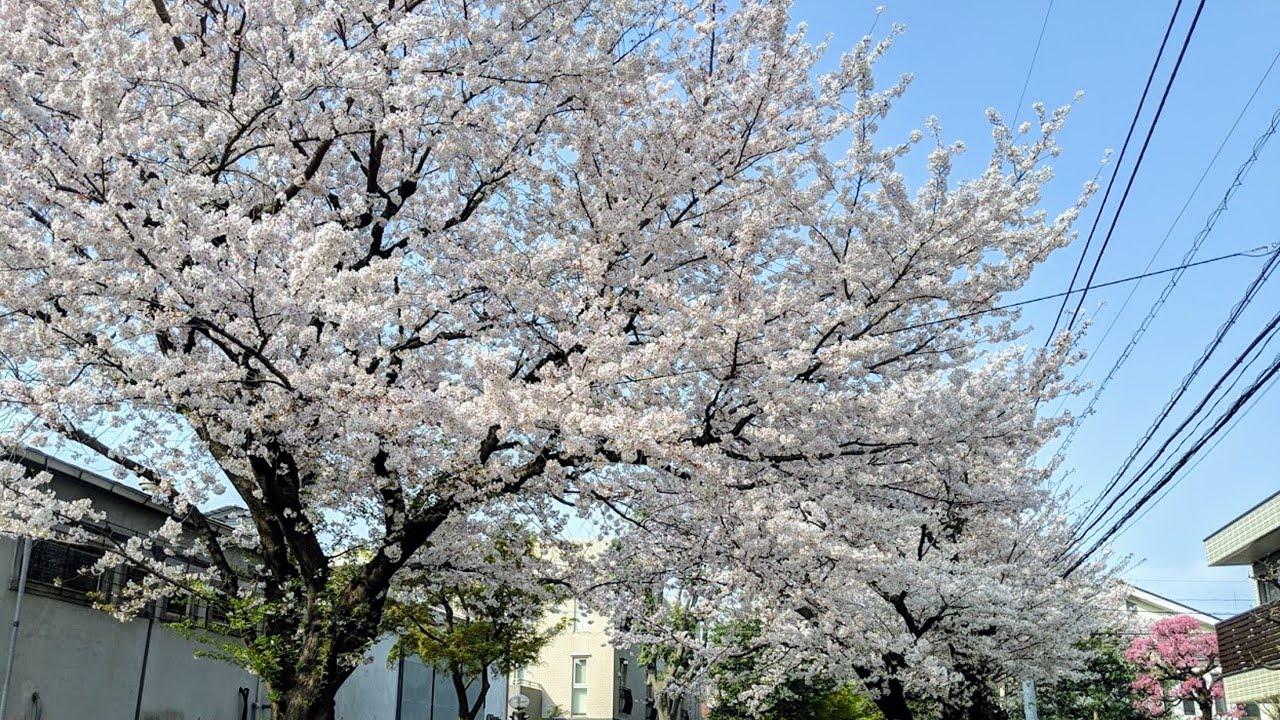 お花見!用賀砧公園の桜スポットとテイクアウトできるお店